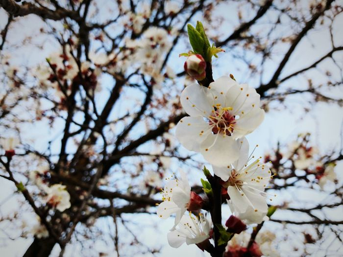 Growth Nature Tree Branch Beauty In Nature Close-up No People Outdoors Twig Flower Low Angle View Day Plum Blossom Flower Head Sky
