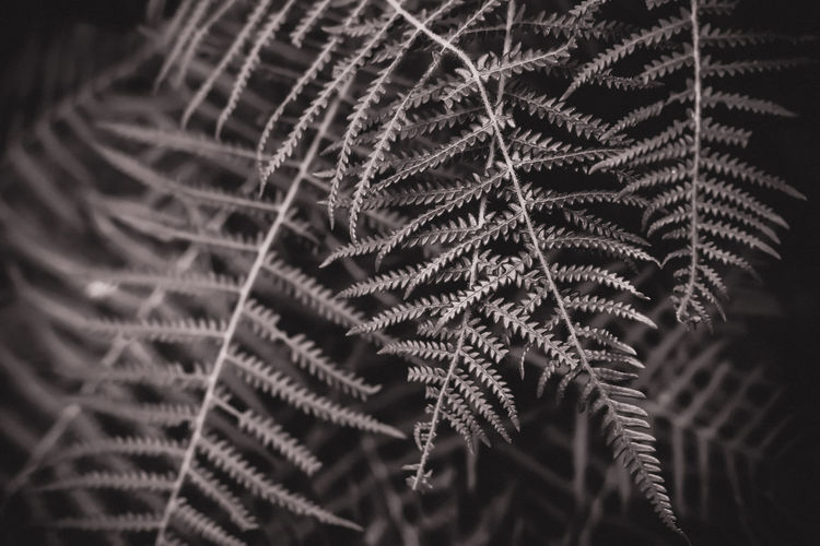 fern leaves Leaves🌿 Backgrounds Beauty In Nature Black Background Botany Close-up Coniferous Tree Day Fern Ferns Focus On Foreground Fragility Full Frame Growth Leaf Leaves Natural Pattern Nature No People Pattern Plant Plant Part Selective Focus Tree Vulnerability
