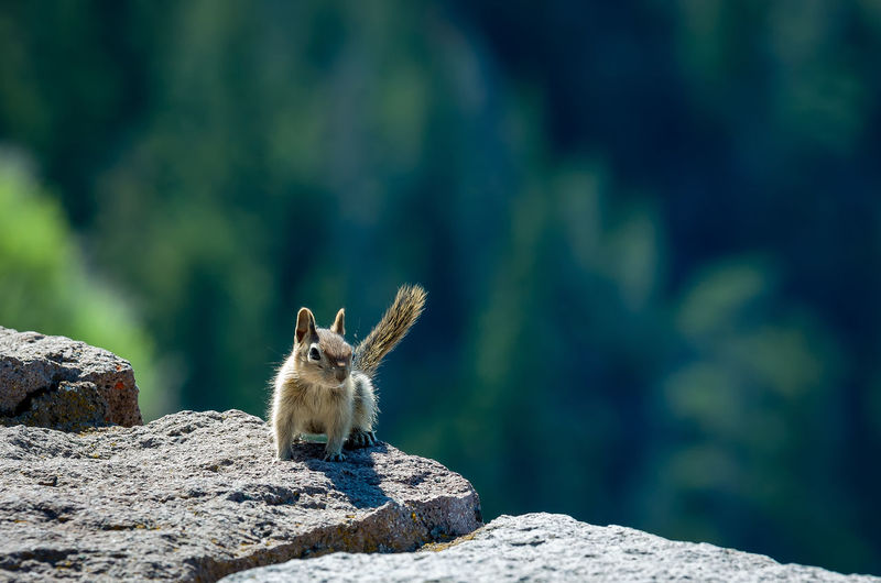Close-up of squirrel on a rock