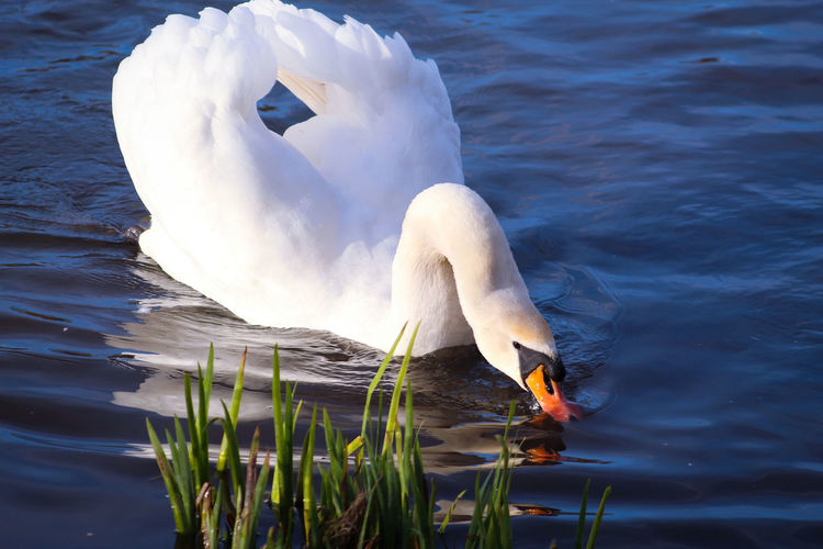 EyeEm Best Shots EyeEm Nature Lover EyeEmBestPics EyeEm Best Shots - Nature Beauty In Nature Wonders Of Nature Water Drinking White Swans Mute Swan Swans On The Lake Avian Male Animal Feather  Lakeside