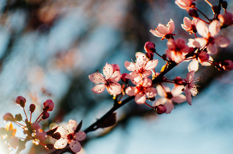 Flower Flowering Plant Plant Freshness Beauty In Nature Growth Fragility Vulnerability  Pink Color Petal Tree Close-up Nature Branch Flower Head Day Springtime Focus On Foreground Blossom Inflorescence Pollen Cherry Blossom No People Outdoors Cherry Tree Blooming Plant Life Pistil Fruit Tree In Bloom