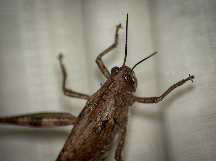 One Animal Animal Animal Themes Animal Wildlife Invertebrate Animals In The Wild Insect Close-up No People Arthropod Selective Focus Animal Body Part Zoology Arachnid Focus On Foreground Day Indoors  Nature Animal Eye Grasshopper