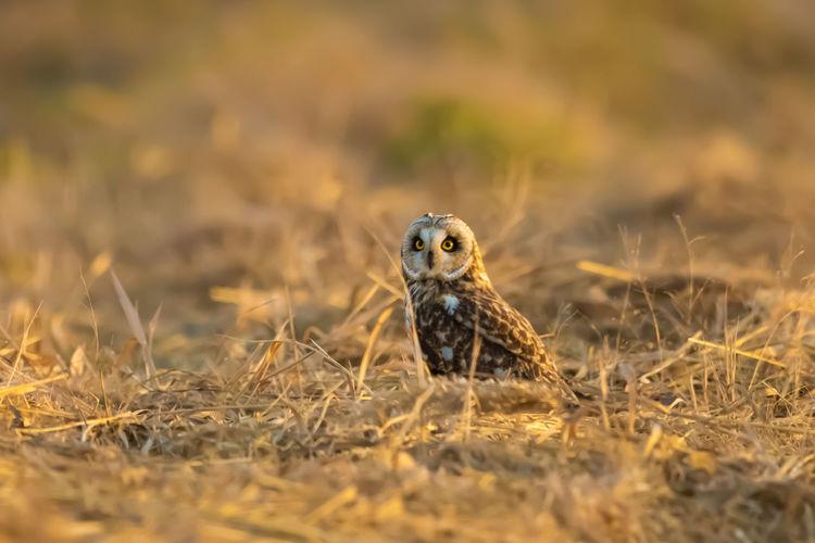 短耳鸮:国家二级重点保护动物,萌