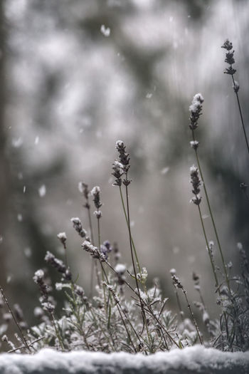 December January Nature Weather Winter Beauty In Nature Close-up Cold Temperature Day Flower Fragility Freshness Growth Lavendel Nature No People Outdoors Plant Season  Snow Snowflakes Tranquility