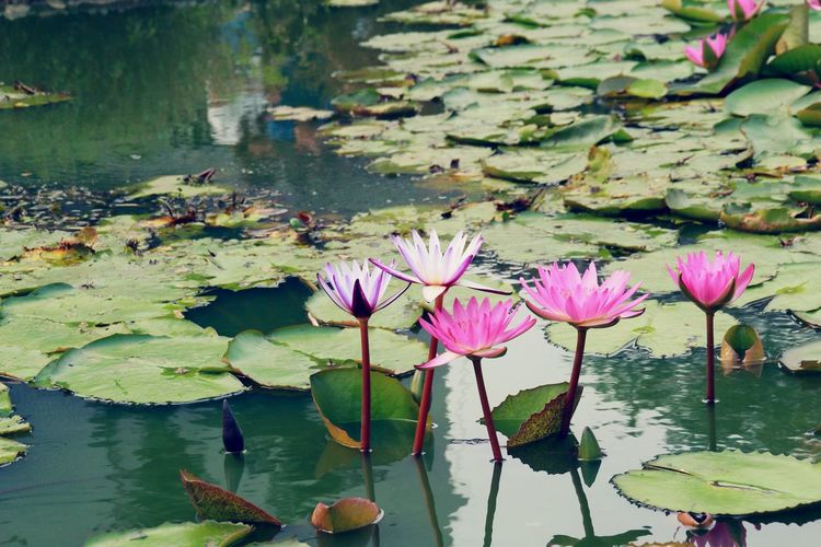 Pond Water Lily Water Floating On Water Flower Lotus Water Lily Nature Leaf Beauty In Nature Lotus Plant Outdoors Standing Water Water Plant Floating Lily Pad