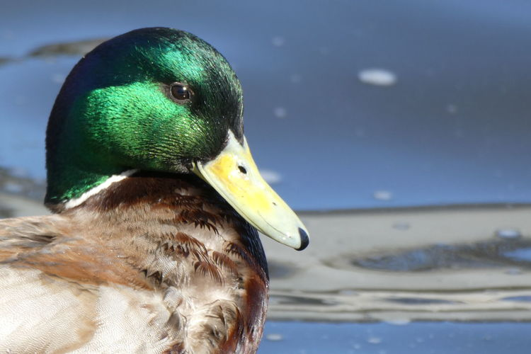 Animal Themes Animals In The Wild Animal Animal Wildlife Vertebrate One Animal No People Nature Day Water Outdoors Duck Purist No Edit No Filter No Edit/no Filter