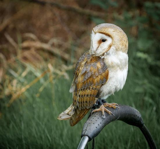 Barn owl seen