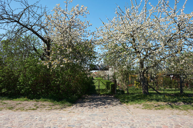 spring blossoms in a village in brandenburg Plant Tree Nature Growth Sky Day Beauty In Nature Park No People Tranquility Tranquil Scene Field Sunlight Grass Outdoors Park - Man Made Space Flower Clear Sky Springtime Blossom Neuhardenberg Oderbruch Brandenburg Spring Apple Blossom Apple Tree Spring Is In The Air Countryside