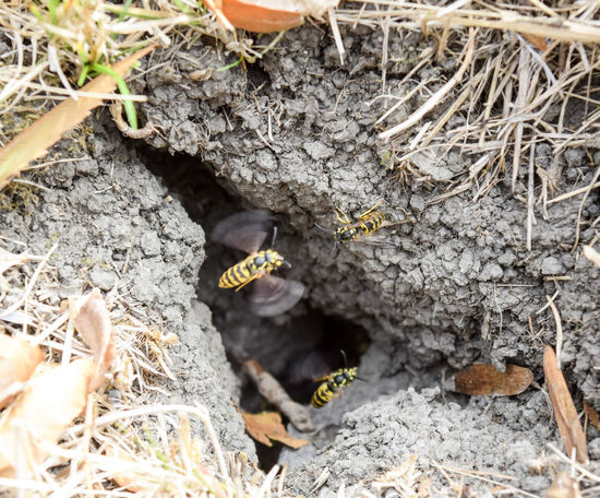 Vespula vulgaris. Destroyed hornet's nest. Drawn on the surface of a honeycomb hornet's nest. Larvae and pupae of wasps. vespula, vulgaris, wasp, mink, nest, fly, destroyed, gutted, killed, collapsed, dead, dismantled, pulled, larvae, pupae, death, excavated, sting, predator, forager, insect, striped, hymenoptera, animals, colony, insects, macro, nature, poisonous, summer, stinger, antenna, filigree, stinging, bee, hexagon, hornet, bug, wasps, chew, wing, fragility, common, pollen, laying, wood, paper, honey, arthropoda, vespiary Animal Themes Animal Wildlife Animals In The Wild Close-up Day Field High Angle View Insect Mammal Nature No People One Animal Outdoors Vespula Vespula, Vulgaris, Wasp, Mink, Nest, Fly, Destroyed, Gutted, Killed, Collapsed, Dead, Dismantled, Pulled, Larvae, Pupae, Death, Excavated, Sting, Predator, Forager, Insect, Striped, Hymenoptera, Animals, Colony, Insects, Macro, Nature, Poisonous, Summer,  Vulgaris Wasp