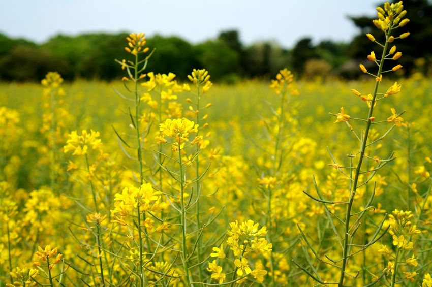 Yellow Flower Nature Field No People Growth Plant Outdoors Day Landscape Scenics Springtime Beauty In Nature Freshness Sky Canola Flower Field Of Flowers Flower Garden