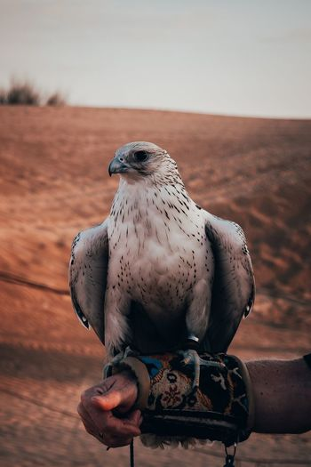 Cropped hand animal trainer holding falcon on field