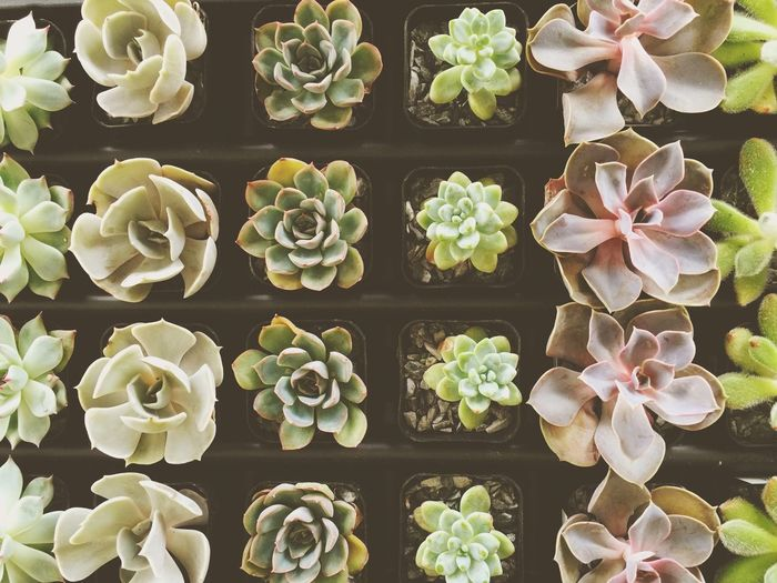 Fuzzy Houseplants House Plants Garden Miniature Succulents Miniature Petals Pretty Soft Pastel Floral Succulents Pink And Green Pink Plants Nature Nature_collection Naturelovers Gardening