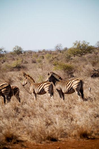 Zebras in a field