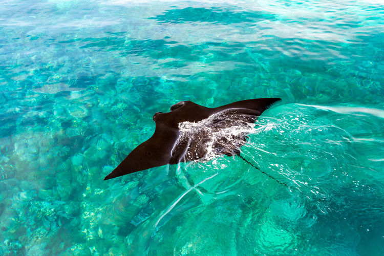 Aerial View of A Black Stingray Swimming in A Clear Blue Sea at Manta Point, Komodo National Park, Flores Island, Indonesia. INDONESIA Manta Ray Aerial Animal Wildlife Black Blue Day Flores Komodo Marine Nature No People One Animal Outdoors Overcast Sea Sea Life Surface UnderSea Underwater Water