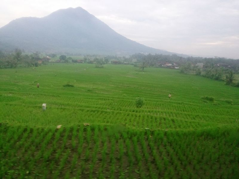 Paddy field at Yogjakarta, Indonesia INDONESIA Yogjakarta Train Window View Window EyeEmNewHere Travel Destinations Travel Traveling Travel Photography Mountain Green Grass Journey Photography Photo Lonelyplanet Paddy Field ASIA Vacation Holiday Nice Breathtaking Relaxing Agriculture Farm Rural Scene Field Tea Crop Crop  Nature