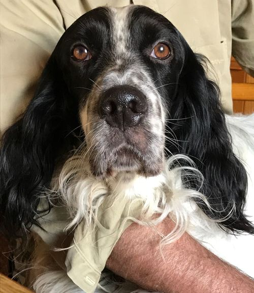 Pets Domestic Animals One Animal Black Color Home Interior Animal Themes Looking At Camera No People English Setter My English Setter
