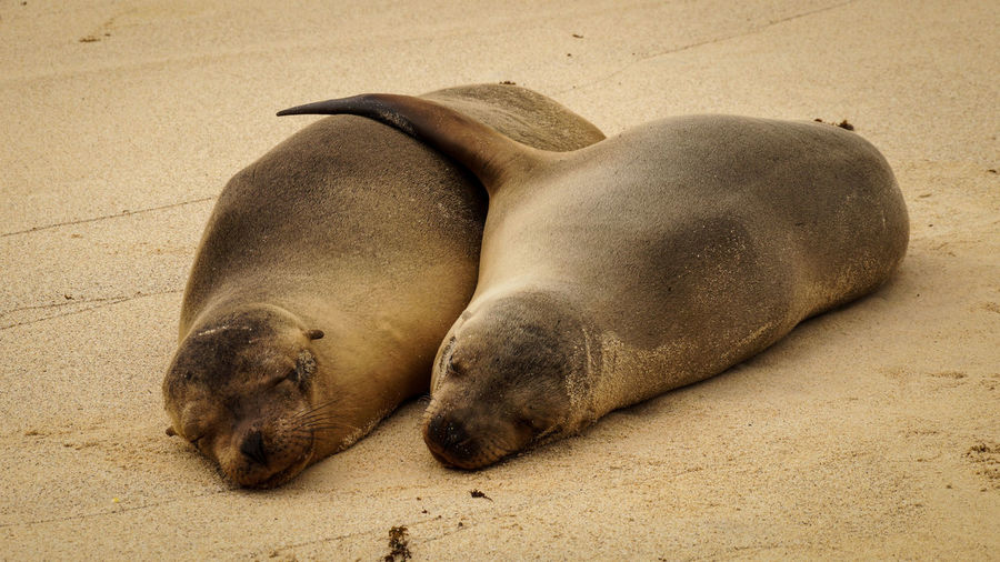 Close-up of sea lions sleeping on sand at beach