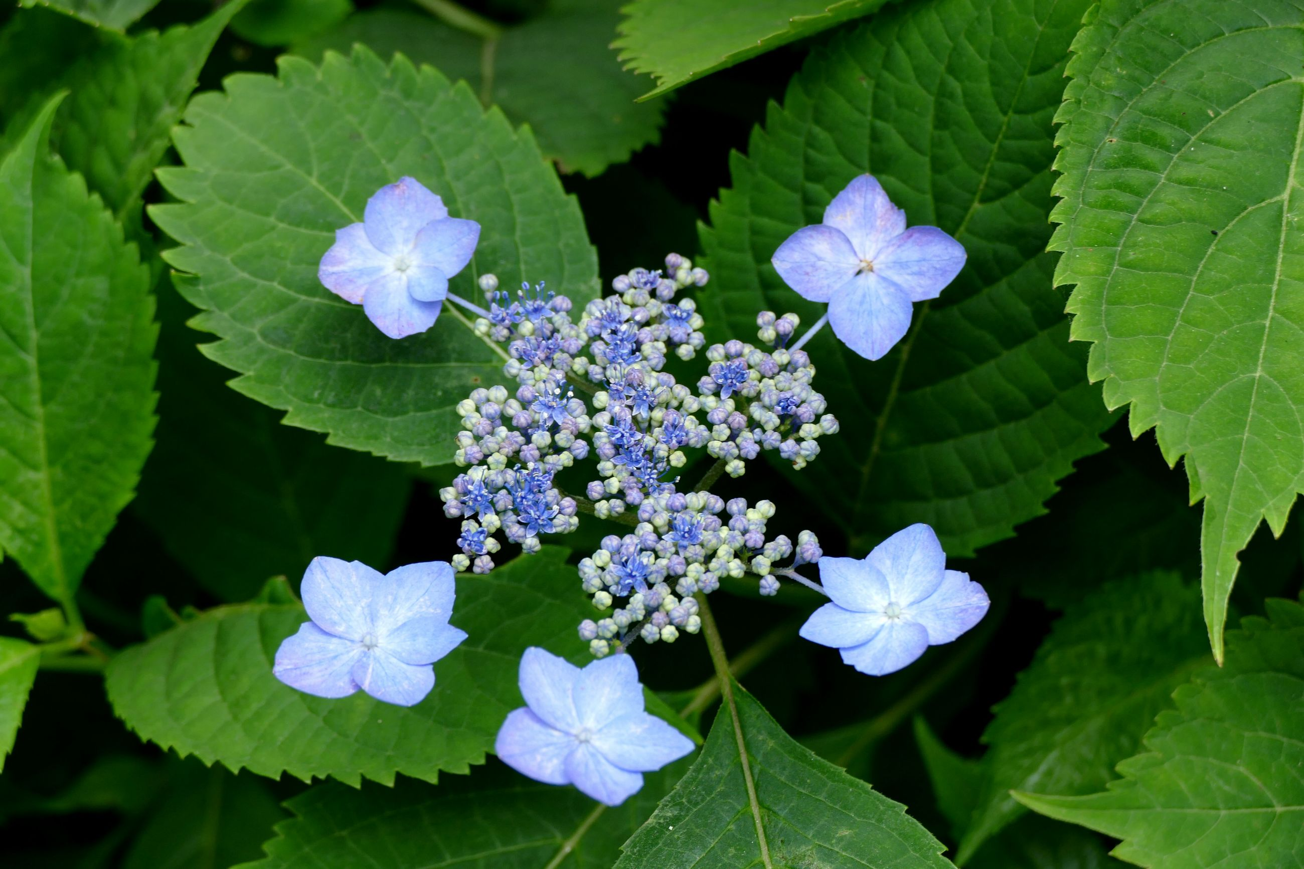 leaf, flower, freshness, growth, purple, green color, fragility, beauty in nature, plant, petal, nature, close-up, flower head, blooming, blue, high angle view, hydrangea, green, outdoors, no people