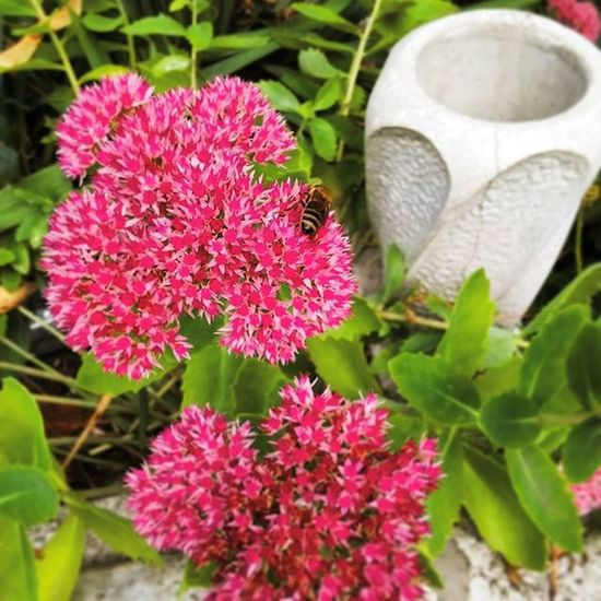 Flower Flowers Nature LoveNature Loveflowers Bee Orpine Cemetery