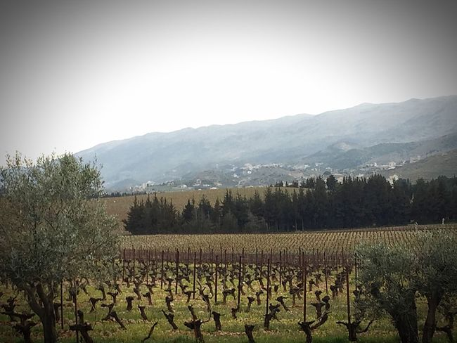 Chateau Kefraya Beqaa Valley Lebanon Agriculture Farm Rural Scene Growth Crop  Vineyard Mountain