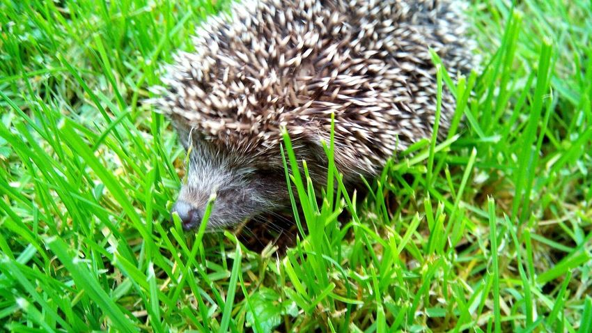 Grass One Animal Animal Themes Animals In The Wild Animal Wildlife Nature Field Green Color Outdoors Hedgehog Mammal No People Day