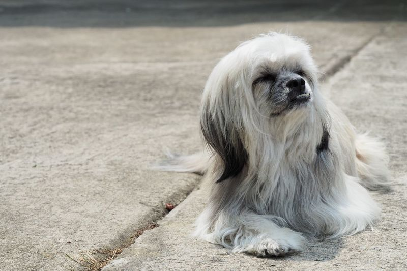 Long-haired dog, gray-white, sunbathing, waiting for the owner on the concrete floor. EyeEm Selects One Animal Animal Animal Themes Mammal Land Sand Dog Canine Vertebrate Day No People Nature Domestic Animals Domestic Focus On Foreground Relaxation Outdoors