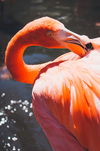 Animal Themes Animal Wildlife Animals In The Wild Beak Bird Close-up Day Flamingo Focus On Foreground Lake Nature No People One Animal Orange Color Outdoors Pink Sunlight Water