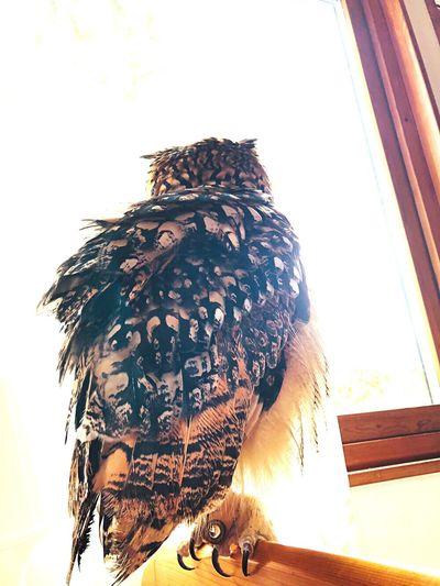 光とともに。 Wood 窓 光と影 特別 やわらかい 幸福 やさしい 猛禽類 モデル 静寂 光 芸術 神秘 神の子 自然 魅力的 Owl Rock Eagle Owl フクロウ ベンガルワシミミズク Day One Animal Nature Pets Animal Wildlife