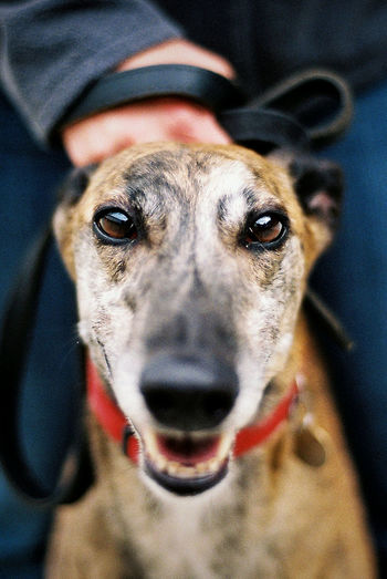 Greyhound Rescue Charity Portrait Racing 35mm Outdoors Pets Dog Day Mammal Film Close-up Animals In Captivity Happy Play