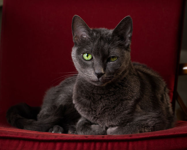 Pets Portrait Sitting Feline Domestic Cat Looking At Camera Red Close-up Siamese Cat Kitten Cat Animal Eye Red Background Tabby Cat