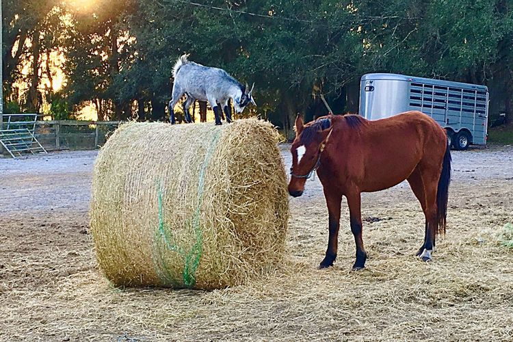 Horse Animal Livestock Domestic Animals Working Animal Farm Life Mustang Horse Life Horse Photography  Goat Life King Of The Hill
