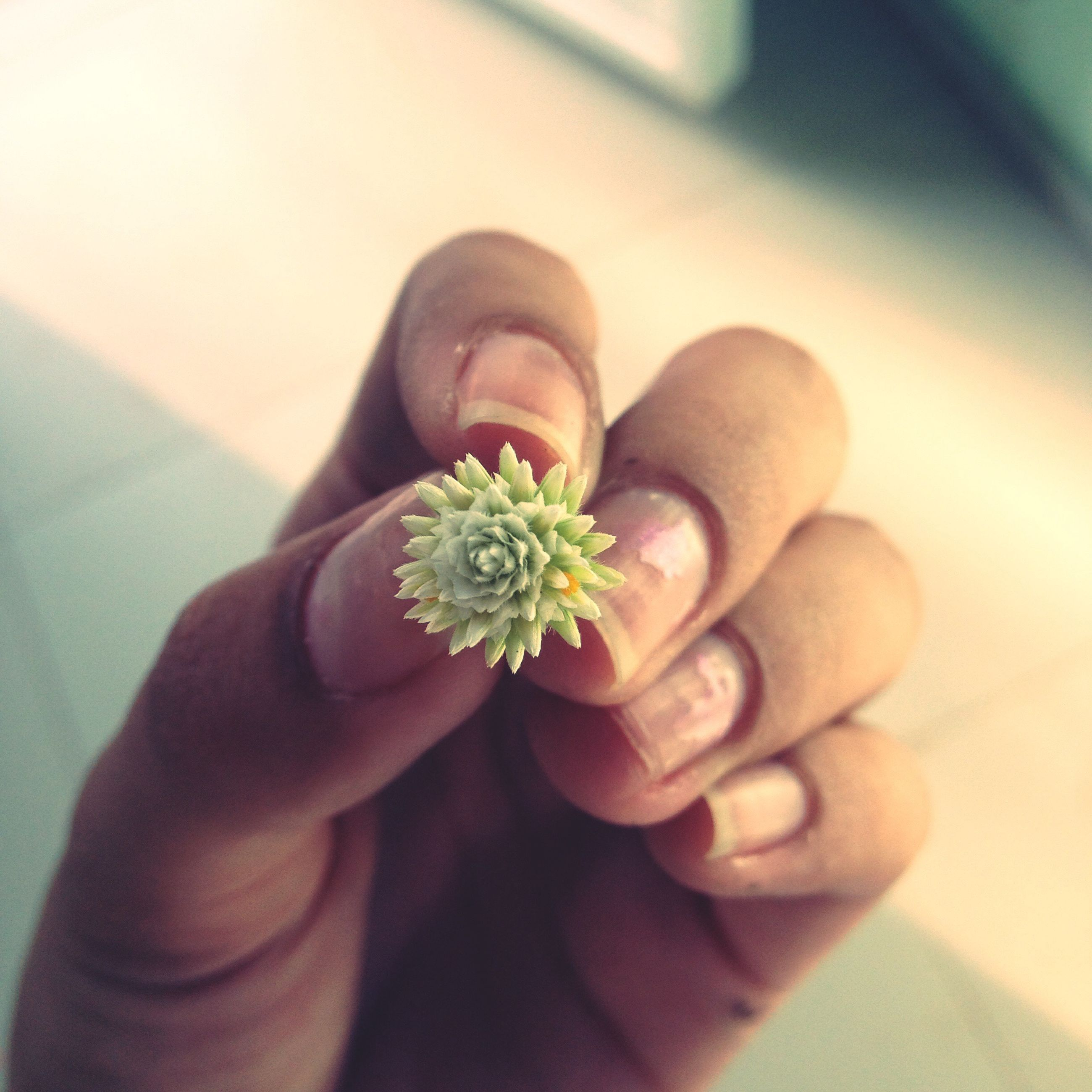 person, holding, flower, part of, human finger, freshness, cropped, personal perspective, fragility, close-up, unrecognizable person, petal, flower head, lifestyles, focus on foreground, leisure activity, selective focus, nature, beauty in nature