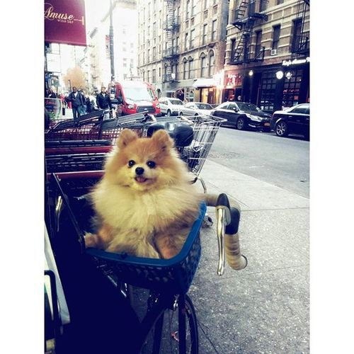 Turned the corner in LES and saw what I thought was a stuffed animal in a bike basket. But zomg it was real! Pomeranian Dog