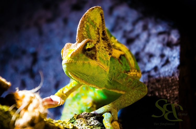 Jemenchamäleon Chamaeleon Animal Wildlife Reptile