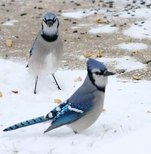 Hanging Out Taking Photos Peanuts Bird Watching Nature Awesome Beautiful Blue Bird Birds Photos By Jeanette Nature Lover