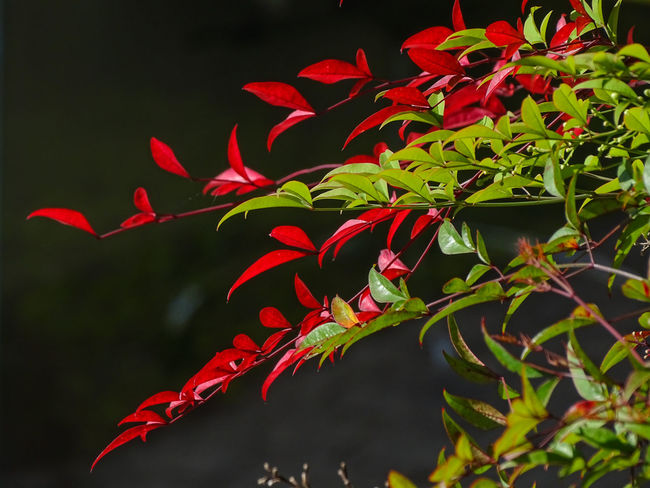 ezefer Beauty In Nature Black Background Close-up Day Flower Flowering Plant Focus On Foreground Fragility Freshness Growth Leaf Leaves Natural Condition Nature No People Outdoors Petal Plant Plant Part Red Selective Focus Vulnerability