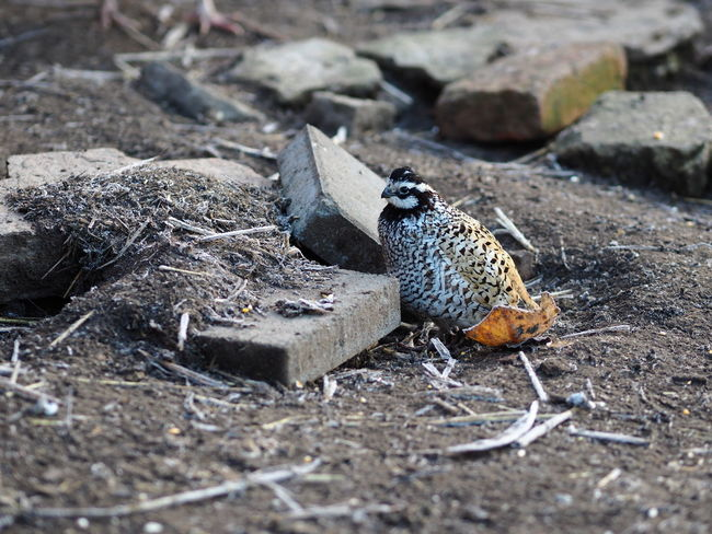 Animal Themes Animal Wildlife Animals In The Wild Bird Close-up Day Nature No People One Animal Outdoors Quail