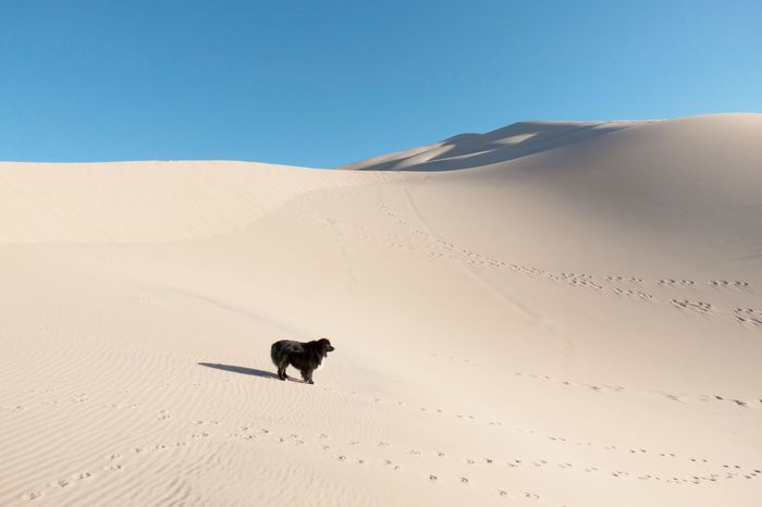 Dog standing on Kelso Sand Dunes in Mojave National Preserve Kelso Dunes Sand Sand Dune Animal Themes Desert Arid Climate Mammal Nature One Animal Outdoors Clear Sky Beauty In Nature Sky Sunlight Scenics No People Day California Dreamin
