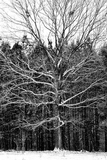 Tree Growth Full Frame Outdoors Nature Backgrounds Snowing Snowscape Tree Porn Snow On Tree Branches Cold Snow On Branches Snow On Tree Beauty In Nature Weather Snow Falling Snow Flakes Snowflakes Snowy Tree Winter Black And White Showing Detail Tree Limbs Branch No Leaves