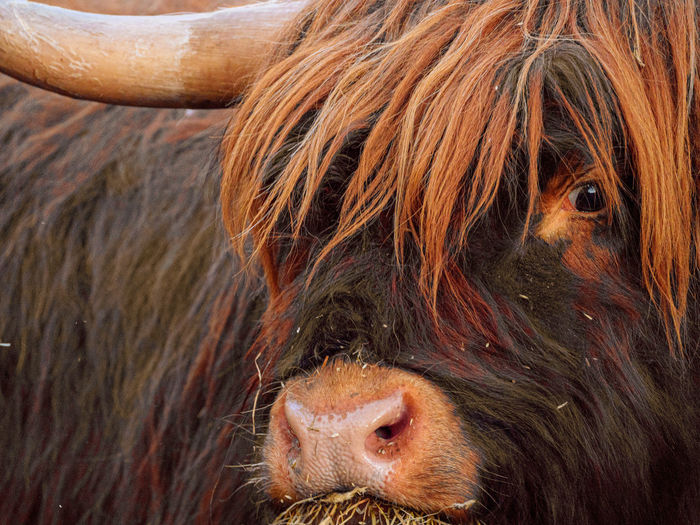 Close-up of a highland cattle bull