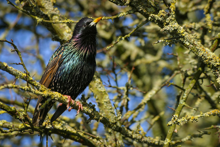 Early Spring European Starling Lichen Sturnus Vulgaris Animal Animal Themes Animal Wildlife Animals In The Wild Beauty In Nature Bird Branch British Birds Common Starling Day Iridescent  Nature No People One Animal Perching Plumage Spring Starling Starling Bird Sturnus Tree