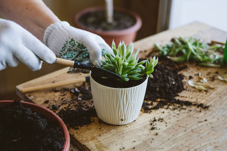 Home garden. how to transplant repot a succulent, propagating succulents