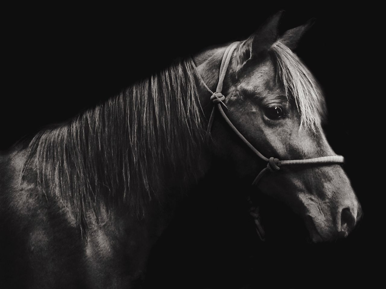 horse, domestic animals, mammal, animal themes, one animal, livestock, bridle, black background, no people, day, outdoors, close-up