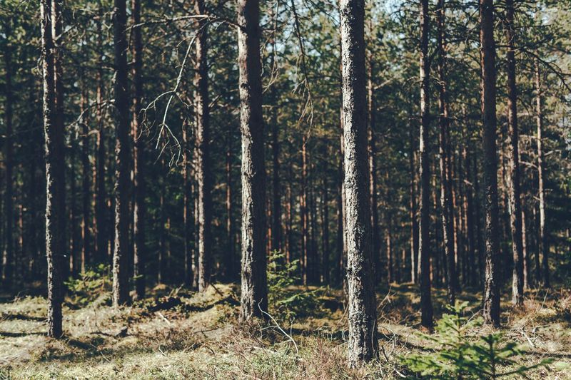 Moody Sweden Dalarna Tree Forest Plant Land Tree Trunk Trunk WoodLand Tranquility Beauty In Nature Nature Scenics - Nature Sunlight Day Tranquil Scene No People