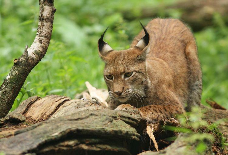 Lynx Animals In