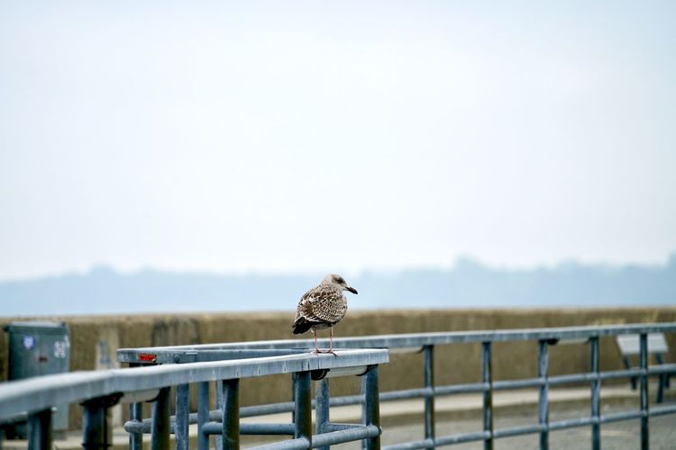 Animal Animal Themes Animal Wildlife Animals In The Wild Barrier Bird Clear Sky Copy Space Day Fence Focus On Foreground Full Length Nature No People One Animal Outdoors Perching Railing Sky Vertebrate