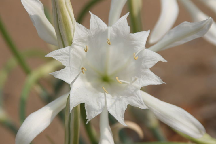 Beauty In Nature Botany Flower Flower Head Nature No People Outdoors Pancratium Maritimum Springtime White Color
