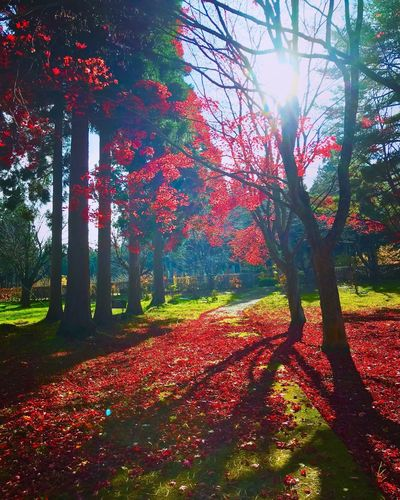 EyeEm Japan Japan Photography Warking♡ Wonderful View Autumn Leaf Tree Maple Tree Maple Leaf Red Orange Color Beauty In Nature Outdoors Forest 秋空 紅葉 もみじ🍁