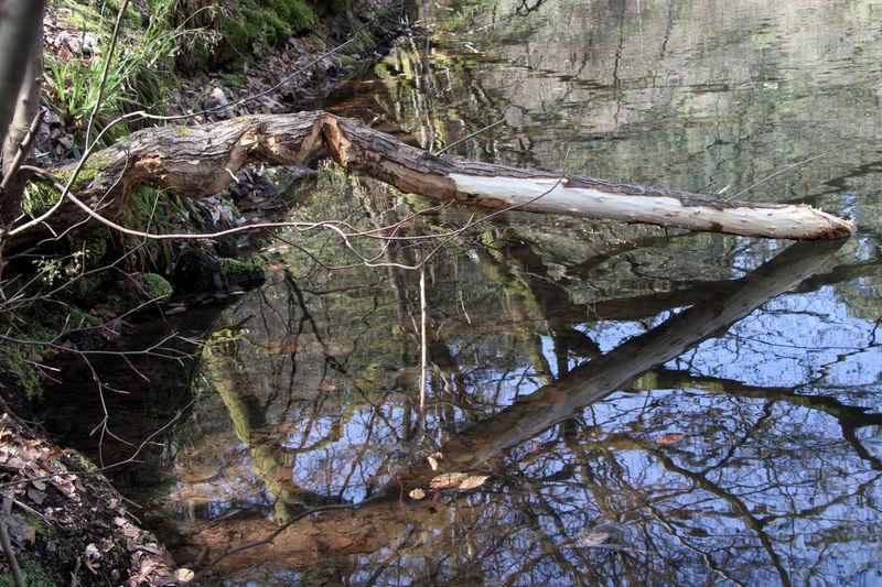 Bieberspuren Animal Tracks Bieber Tree Water Reflections Beaver Work Branch Lake Tierspuren Water Wildlife