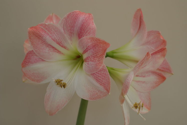 Close-up of pink flowers blooming against beige background